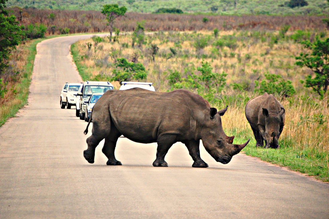 White Rhinos In Road, Kruger National Park, South Africa