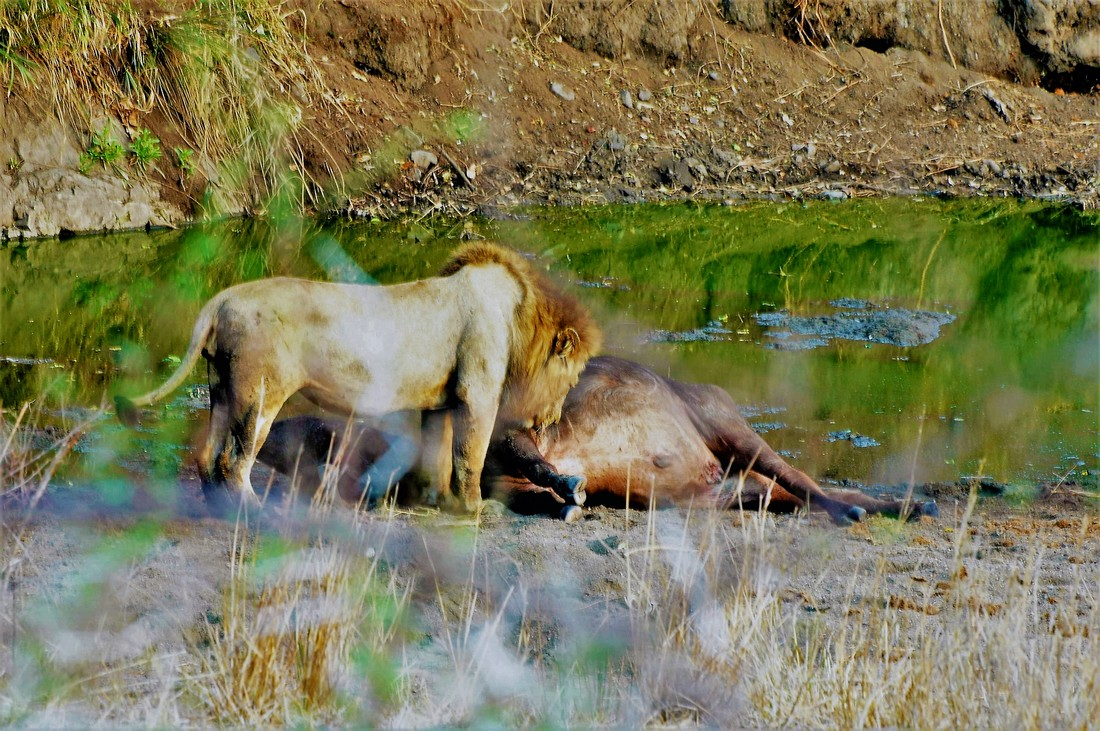Male Lion With Buffalo Kill, Kruger National Park, South Africa