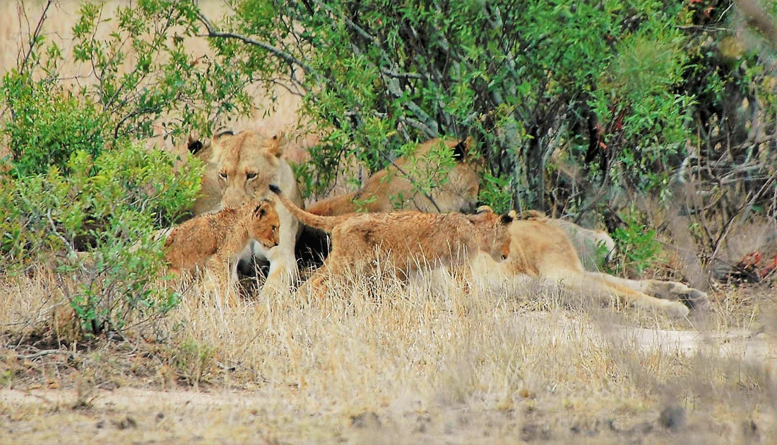 Lion Pride With Cubs, Kruger National Park, South Africa