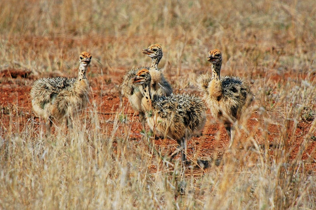 Ostrich Chicks, Kruger National Park, South Africa