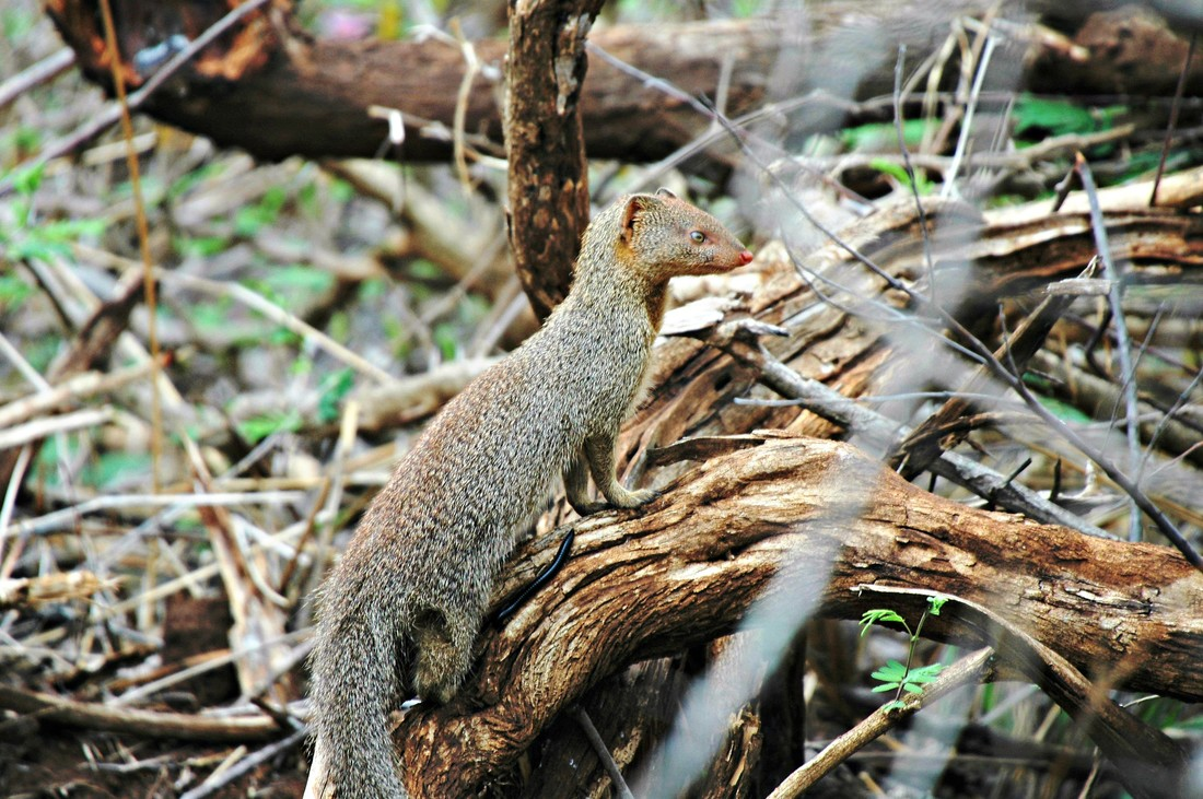 Slender Mongoose, Kruger National Park, South Africa