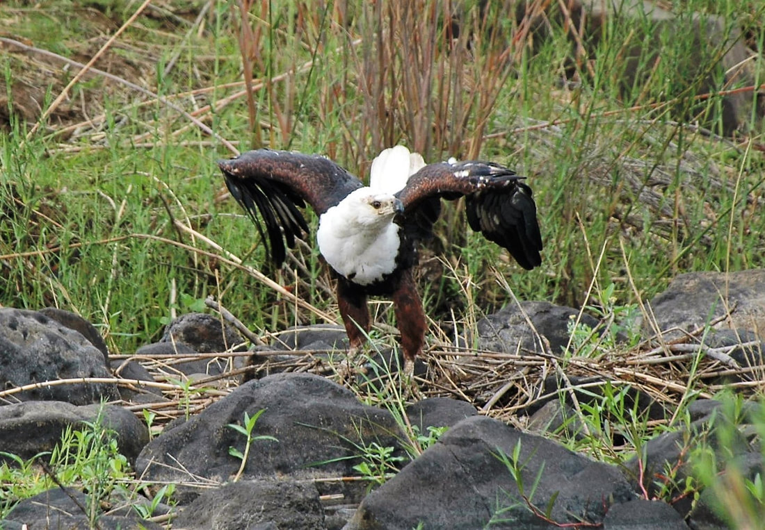 African Fish Eagle, Kruger National Park, South Africa