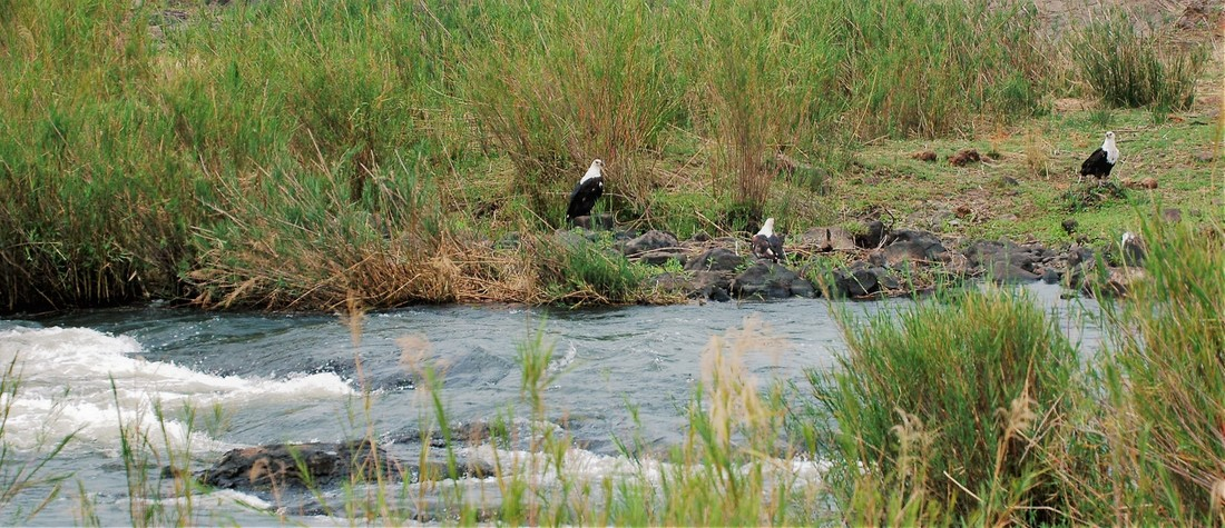 Three Fish Eagles Along Sabie River, Kruger National Park, South Africa