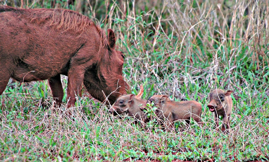 Warthog with piglets, Kruger National Park, South Africa