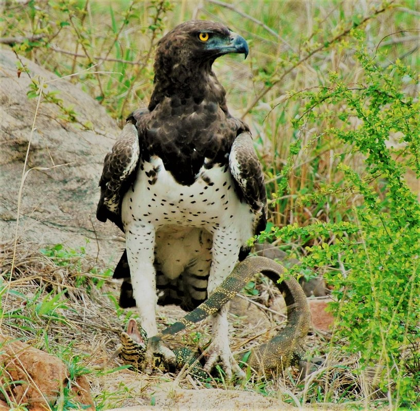 Martial Eagle with Monitor Lizard, Kruger National Park, South Africa