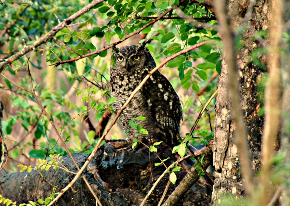 Spotted Eagle Owl, Kruger National Park, South Africa