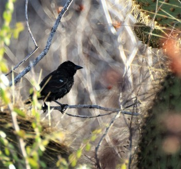 Galapagos Islands Common Cactus Finch Dragon Hill