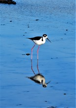Galapagos Islands Black-necked Stilt Dragon Hill