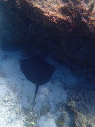 Galapagos Islands Chinese Hat Snorkel Diamond Stingray