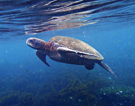 Galapagos Islands Floreana Post Office Bay Snorkel Sea Turtle