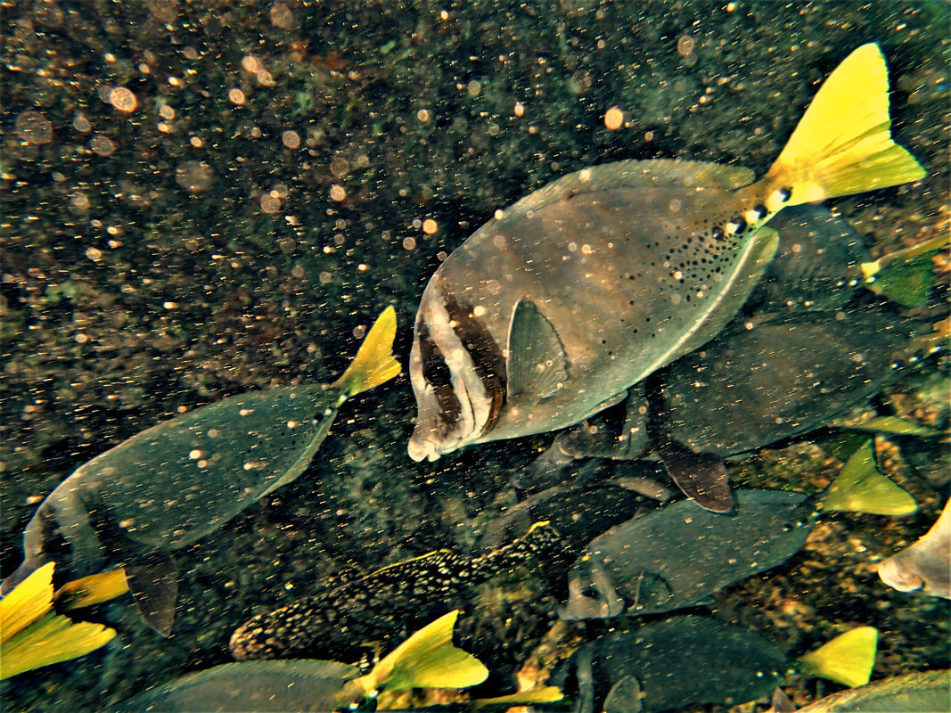 Galapagos Islands Chinese Hat Snorkel Yellow-tail Surgeonfish