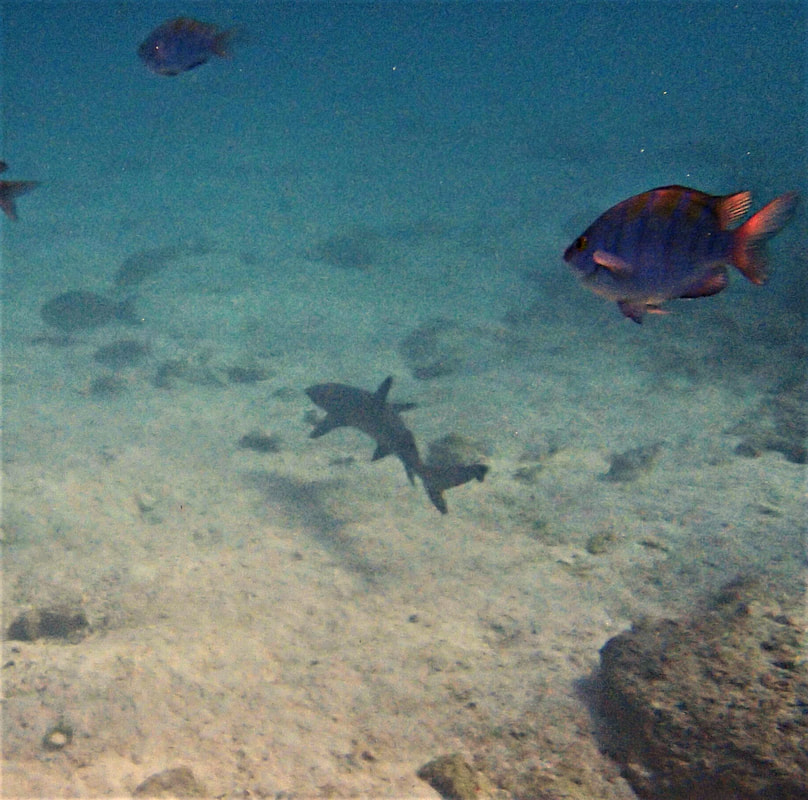 Galapagos Islands Chinese Hat Snorkel White-tipped Reef Shark