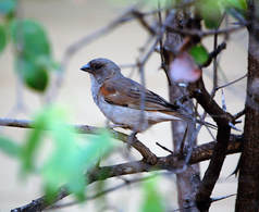 Southern Grey-headed Sparrow, Satara Camp, Kruger National Park, South Africa