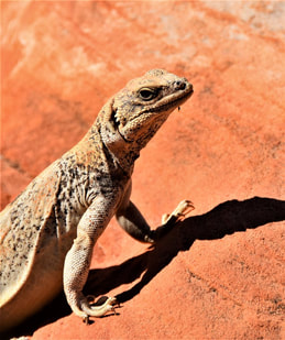 Chuckwalla White Domes Loop Trail - Valley of Fire