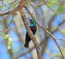 Marico Sunbird, Kruger National Park, South Africa