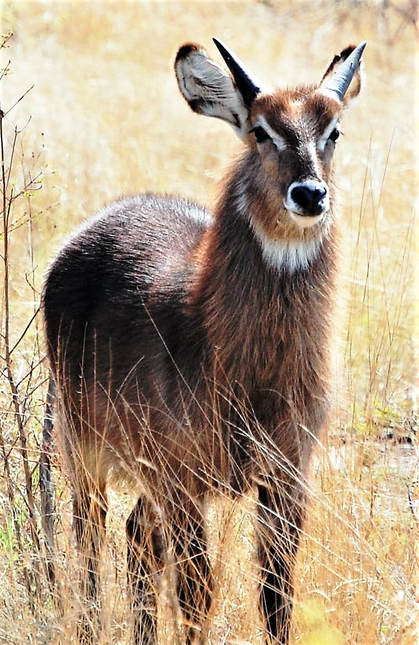 Waterbuck, Kruger National Park, South Africa
