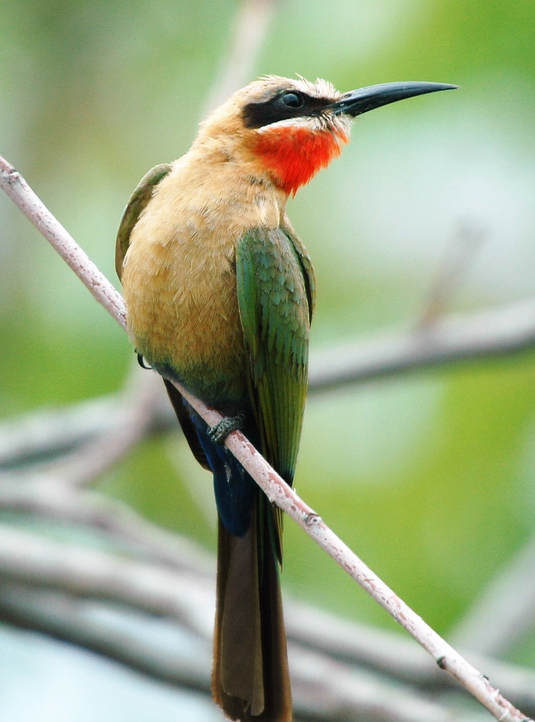 White-faced Bee-eater, Kruger National Park, South Africa