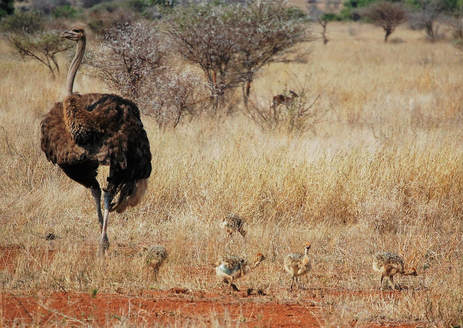 Ostrich with Chicks, Kruger National Park, South Africa