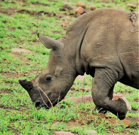 Rhino Calf, Kruger National Park, South Africa