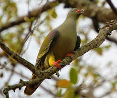 African Green Pigeon, Lower Sabie Camp, Kruger National Park, South Africa
