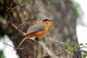 White-browed Robin-chat, Lower Sabie Camp, Kruger National Park, South Africa