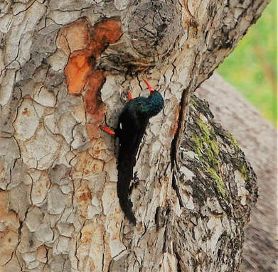Green Wood Hoopoe, Pretoriouskop Camp, Kruger National Park, South Africa