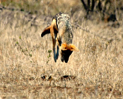 Black-backed Jackal Pouncing, Kruger National Park, South Africa