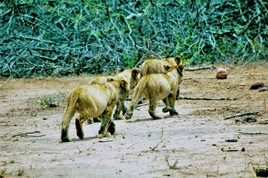 Lion Cubs, Kruger National Park, South Africa