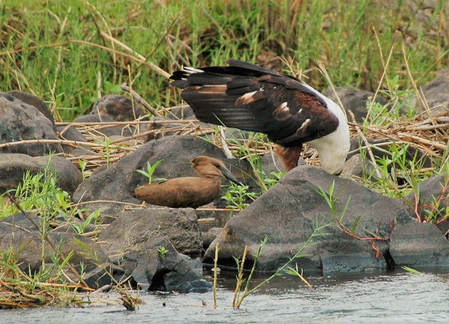 African Fish Eagle & Hamerkop, Kruger National Park, South Africa