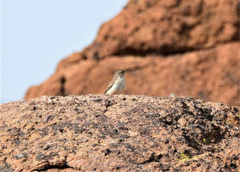 Rock Wren - Mojave National Preserve