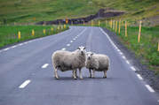 Iceland Sheep In The Road